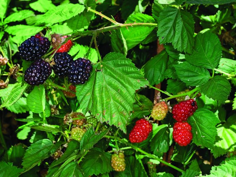 blackberry weed - photo #39