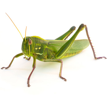 Scientific order: Orthoptera