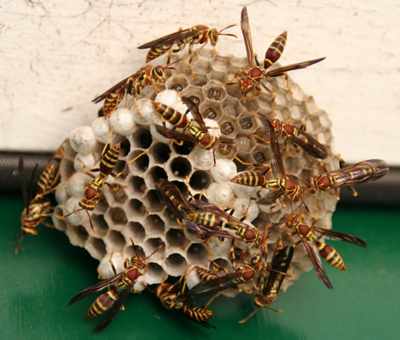 black paper wasp Yellow jackets, paper wasps and hornets are the most common types of wasps that build their nests right where you don't want them — in and around the lawn and garden while these insects are.