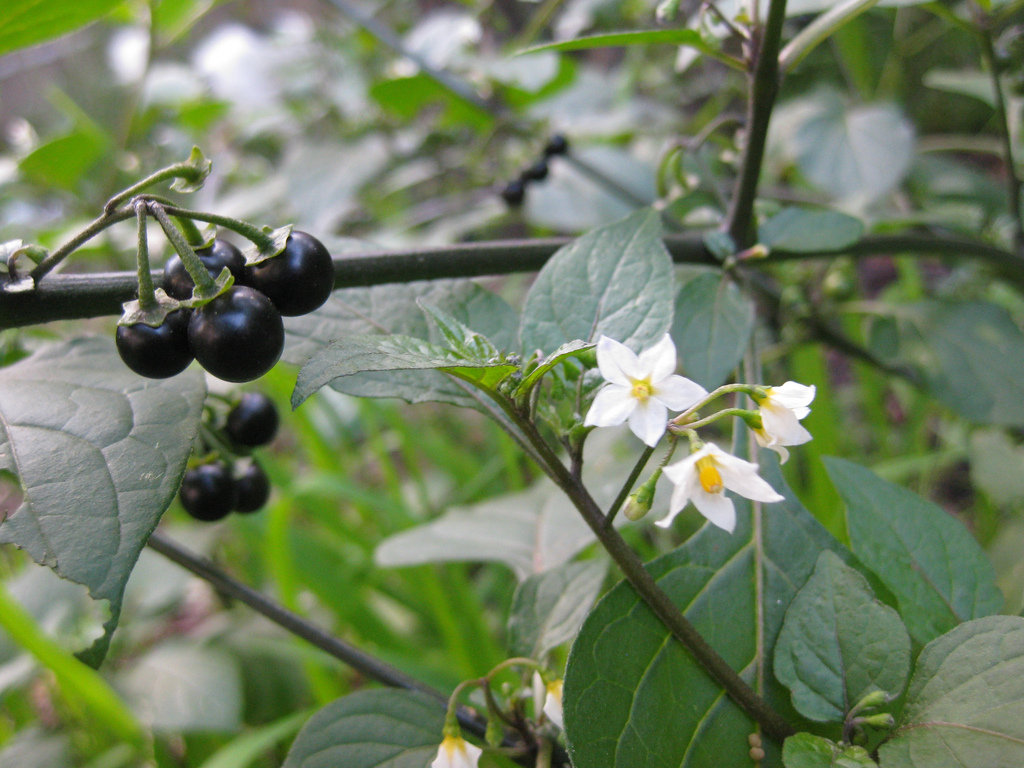 blackberry weed - photo #15