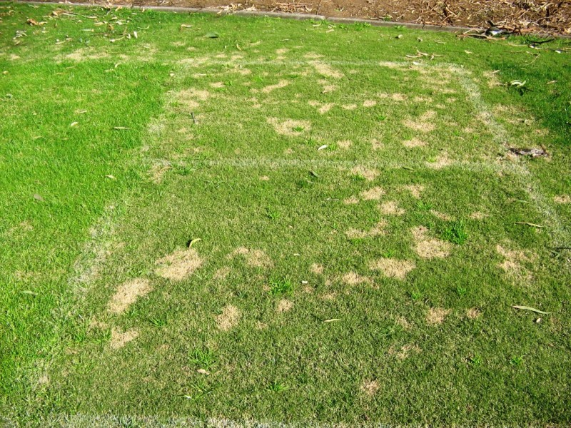 Fusarium Patch - Nuturf